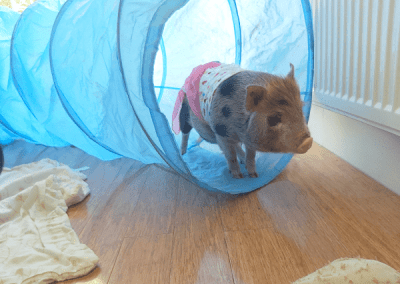 miniature piglet in a play tunnel
