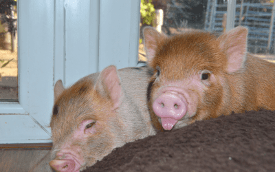 Miniature Pigs as Pets – Commonly Asked Questions. PART 1