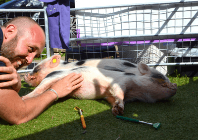 Biscuit and Popcorn two miniature pigs being stroked