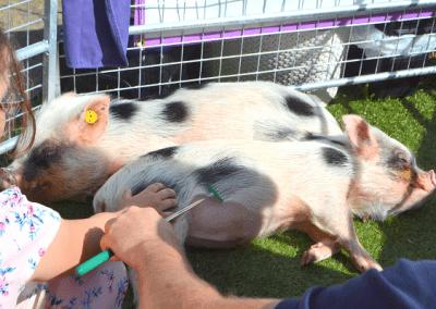 Micro pig petting session uk