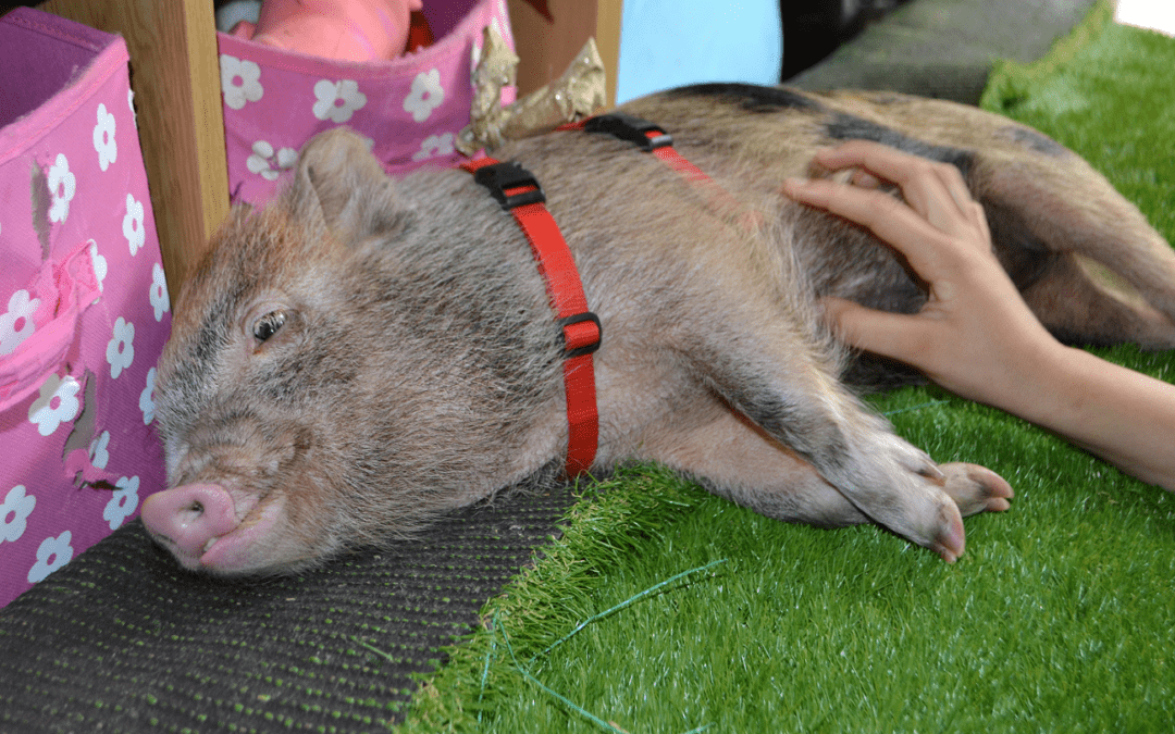 Miniature Pigs as Pets – Commonly Asked Questions. Part 3