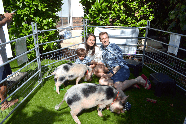 miniature pig party with the pigfather's pigs
