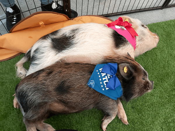 rent a miniature pig for a day