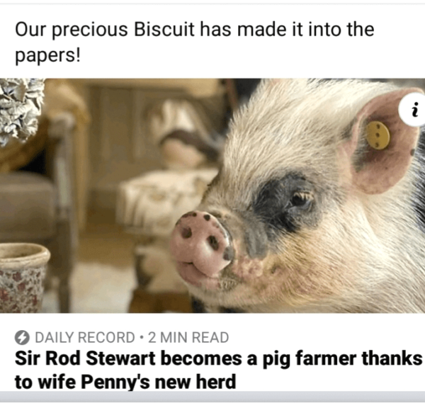 The Pigfather's micro pig Biscuit in Daily Record paper