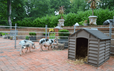 BORROW MY PIGGY UNIQUE MINIATURE PIG THERAPY EXPERIENCE