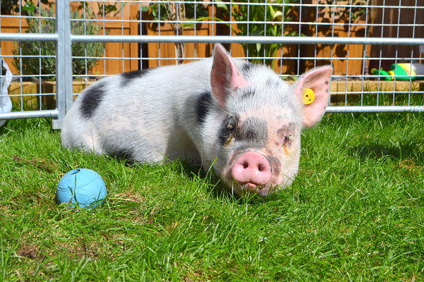miniature pig therapy with popcorn in surrey