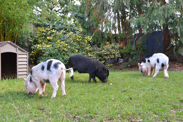 miniauture pigs romeo, biscuit and popcron grazing in the garden