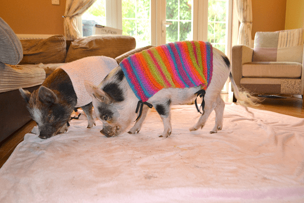polly and holly the micro pigs uk