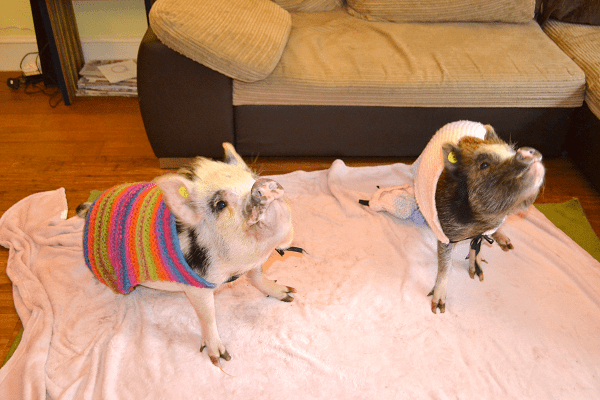 beautiful miniature pigs holly and polly in surrey