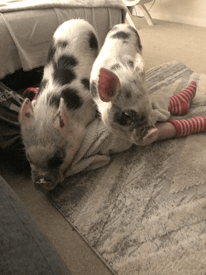 Biscuit and Popcorn providing Miniature Pig Therapy  Sussex UK