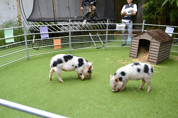 Borrow My Piggy with miniature pigs Biscuit and Popcorn London uk