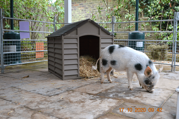 Miniature Pig Popcorn Borrow My Piggy surrey uk