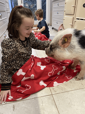 a child stroking a miniature pig surrey UK