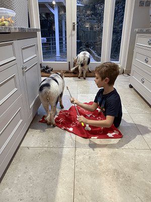 a child with a miniature pig at home in surrey
