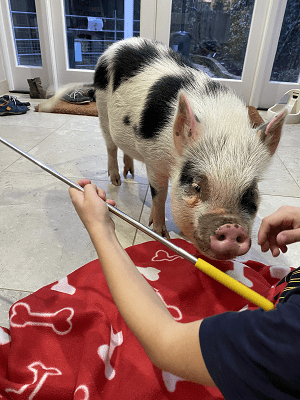 miniature pig biscuit being scratched in surrey