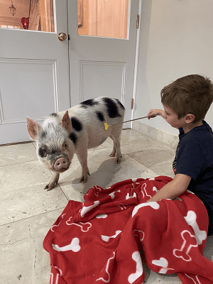 miniature pig popcorn being scratched by a child in surrey