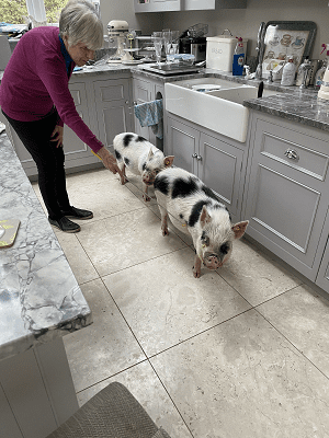 miniature pigs biscuit and popcorn in a customer's kitchen in surrey