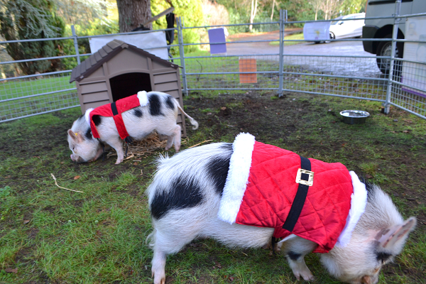 micro pigs biscuit and popcorn during borrow my piggy stay in surrey