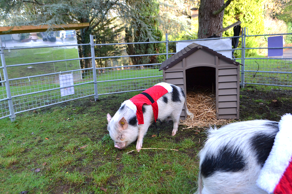 miniature pig popcorn during borrow my piggy experience in surrey uk