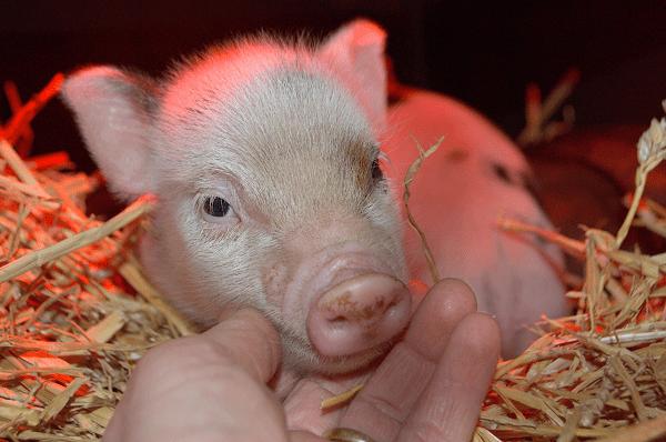a friendly little cute piglet