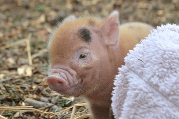a pretty ginger micro piglet uk