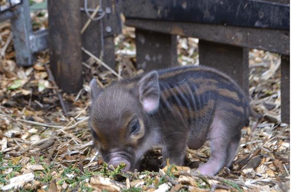 a stripy baby miniature piglet