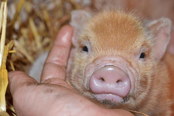 adorable ginger piglet uk