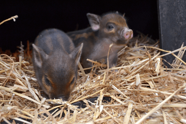 cute micro piglets with amazing stripy colours