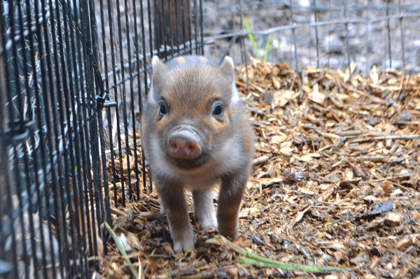 cute rare colour miniature piglet at the pigfather