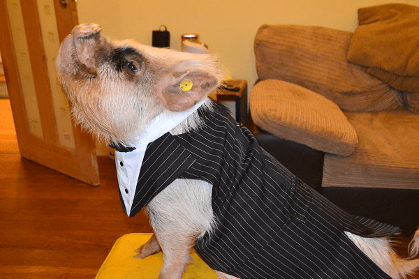 micro pig buscuit posing for a photo wearing a tuxedo suit