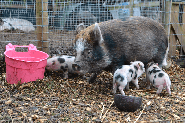 miniature pig holly with her babies uk