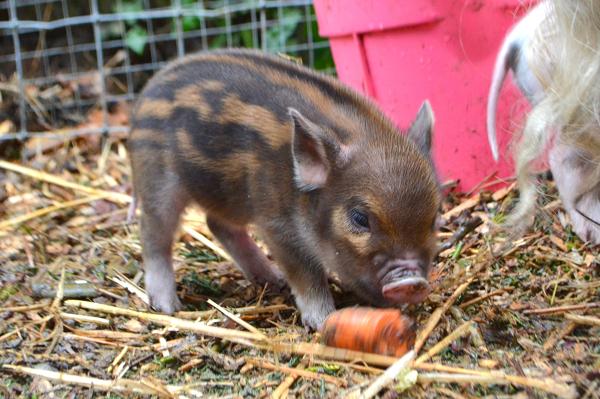 miniature piglet eating a carrot