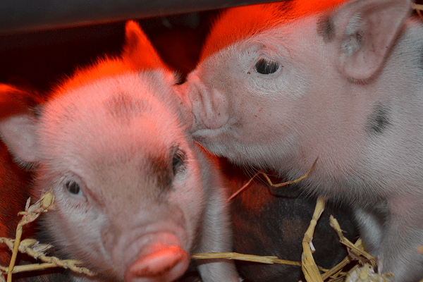 two cute baby micro piglets