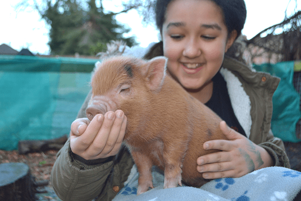 a child feeding a ginger micro piglet uk