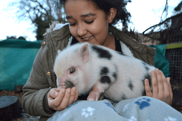 a child feeding a pink micro piglet uk