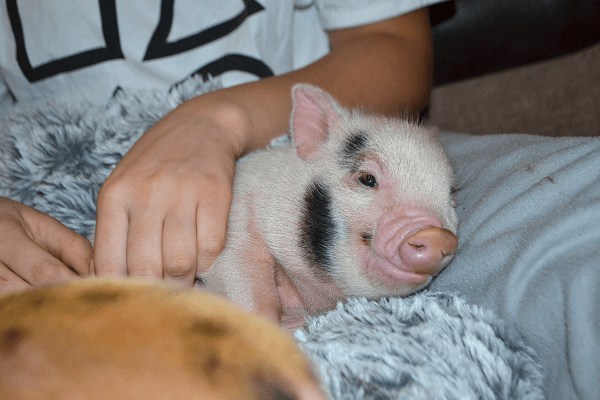a cuddly pink miniature piglet for sale uk