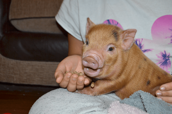 a ginger miniature piglet eating from a child's hand