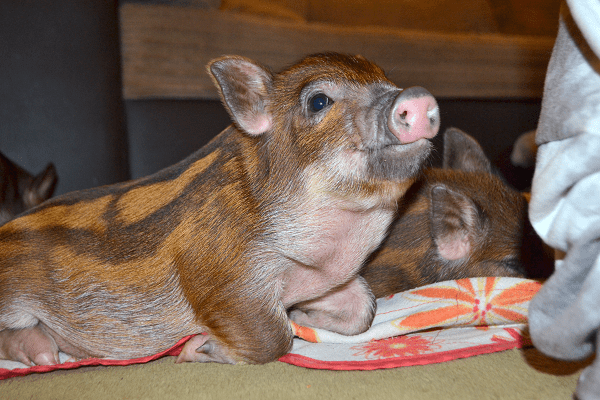 a stripey micro piglet relaxing at home