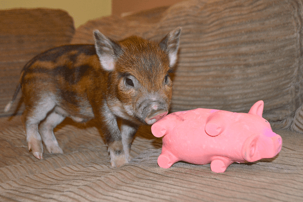 a stripey micro piglet with a toy piglet for sale uk