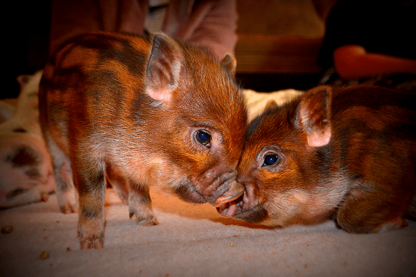 beautiful stripey piglets uk