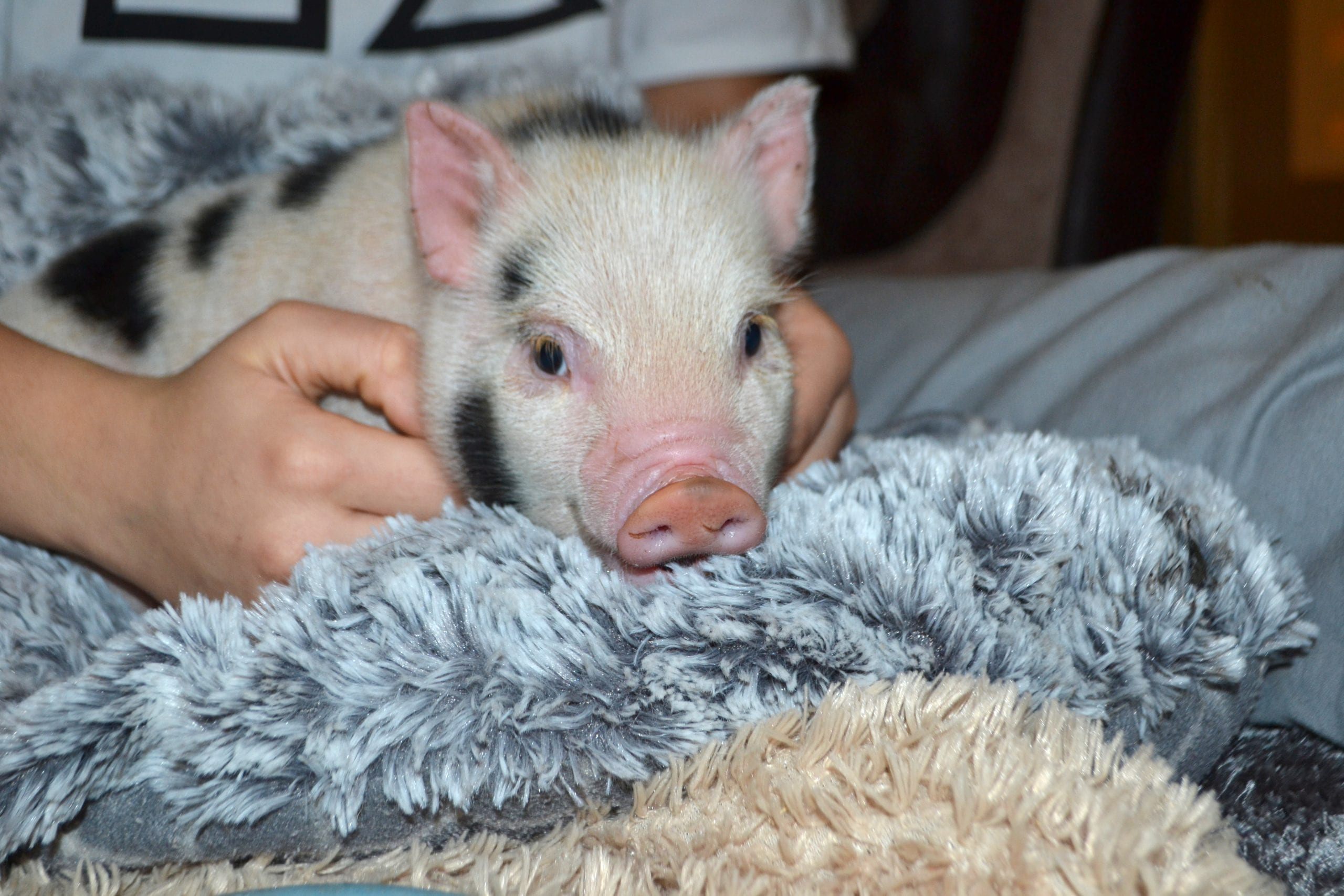 cute pink micro piglet being cuddled and available for borrow my piggy