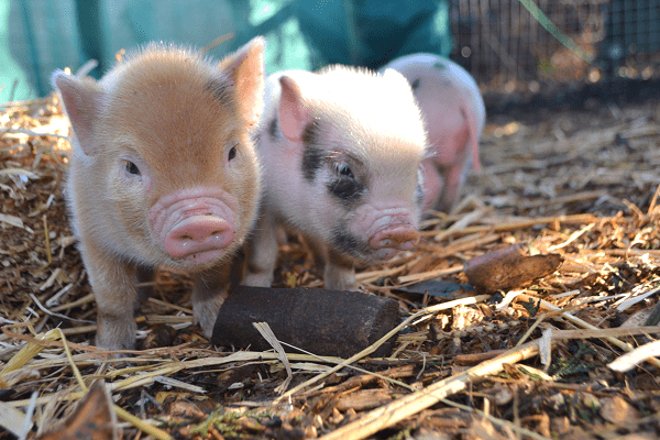 micro piglets Ella and Miracle available for Borrow My Piggy Experience