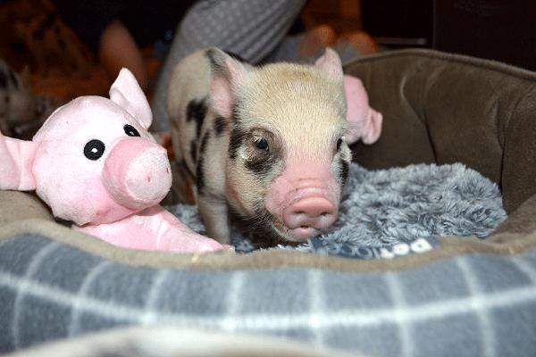 little miniature piglet miracle