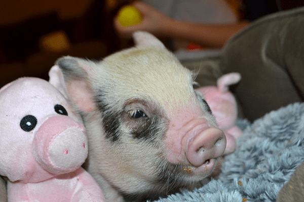 miniature piglet miracle with toy pigs uk