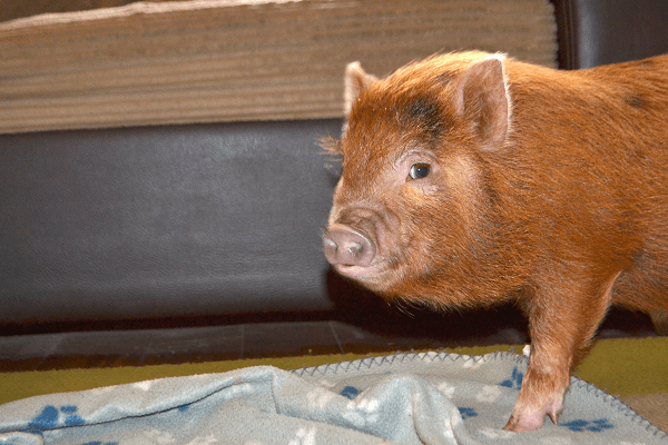 curious miniature piglet ella at home in the UK