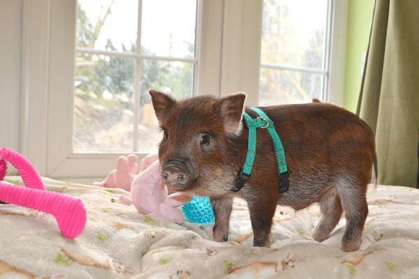 miniature pig bubbles our future stud boar