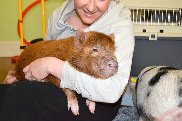 miniature piglet Ella in Natasha's arms UK