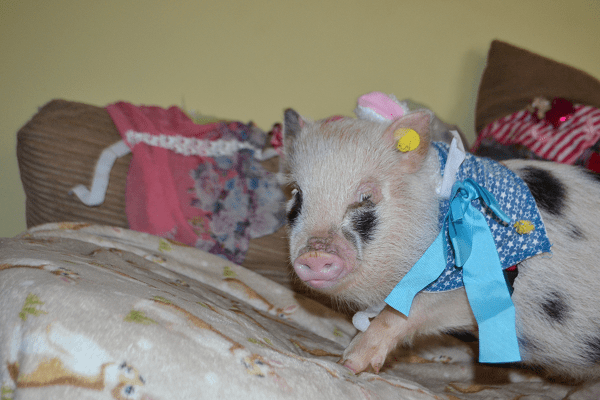 miniature piglet Miracle dressed up in blue in UK