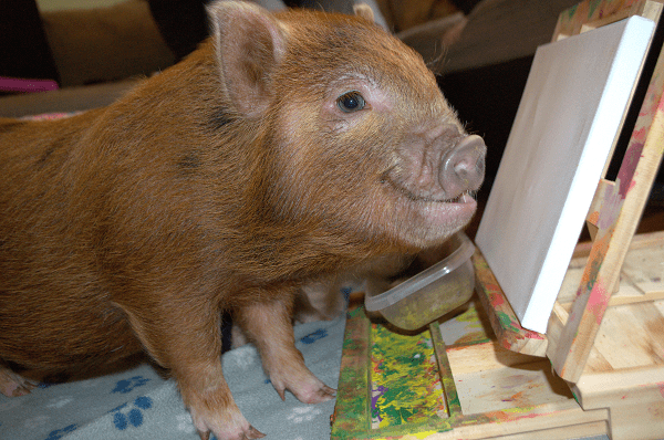 miniature piglet ella preparing to paint on a canvas