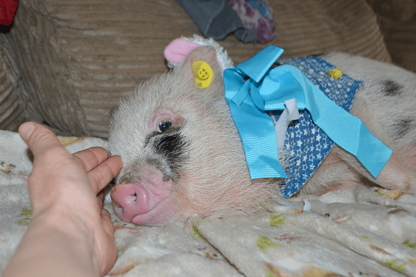 miracle the pigfather's therapy miniature piglet UK